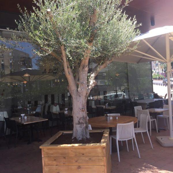 אדנית עץ עם עץ זית בוגר